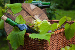 Vite del cestino dell'uva della bottiglia di vino Immagine Stock