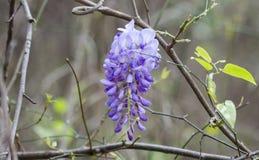 Vite del fiore di glicine di Purlpe, Georgia, U.S.A. Fotografie Stock