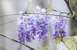 Vite del fiore di glicine di Purlpe, Georgia, U.S.A. Fotografia Stock Libera da Diritti