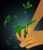 Vite del germoglio della pianta Immagini Stock Libere da Diritti