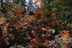 Vite dell'acero nella stagione di caduta Orregon U.S.A. immagini stock libere da diritti