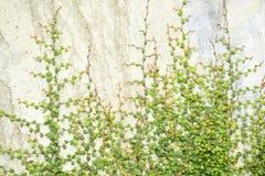 Vite dell'edera sulla parete Fotografia Stock