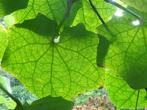 Vite delle foglie verdi nel giardino Immagine Stock