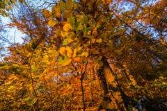 Vite di Atumn sull'albero 2 Immagini Stock Libere da Diritti