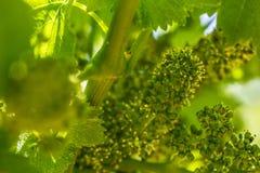 Vite di fabbricazione di vino che germoglia nella vigna in Francia del sud soleggiata con terreno pietroso Immagine Stock