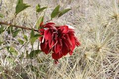 Vite di fioritura rossa Fotografia Stock