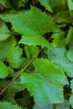 Vite e foglie verdi Immagine Stock