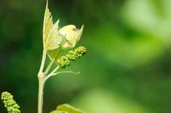 Vite in fioritura Fotografia Stock Libera da Diritti