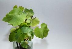 Vite, foglie Fotografie Stock