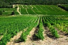 Vite nel Roussillon Fotografie Stock