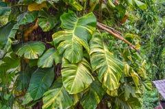 Vite rampicante dell'albero con le grandi foglie verdi & gialle Fotografia Stock Libera da Diritti