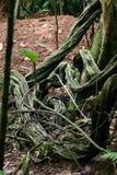 Vite riccia del nastro della foresta pluviale Fotografia Stock