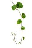 Vite selvatica delle foglie verdi pelose isolata su fondo bianco, tropi Immagini Stock Libere da Diritti