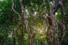 Vite sudicia torta della giungla della liana selvatica con il lichene sull'ubriacone fotografia stock