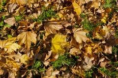 Vite sull'erba verde Fotografia Stock