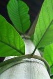 Vite verde. immagini stock libere da diritti