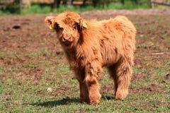 vitela Imagens de Stock Royalty Free