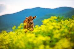 vitela Fotografia de Stock