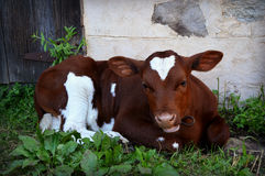 vitela Foto de Stock