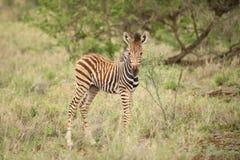 Vitela africana em um sul - reserva africana da zebra do jogo Imagens de Stock