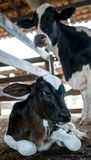 Vitela bonita em uma exploração agrícola de gado foto de stock