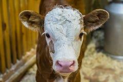 Vitela bonita, nova, marrom, pequena livestock Criação de animais e cuidado dos rebanhos animais fotografia de stock