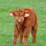 Vitela bonito do gado das montanhas imagem de stock royalty free