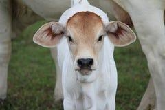 Vitela branca do brâmane que olha a direito com a vaca da mãe no fundo Fotografia de Stock