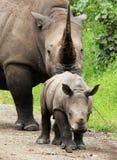Vitela branca do rinoceronte Imagem de Stock