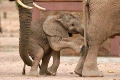 Vitela brincalhão dos elefantes Imagens de Stock Royalty Free