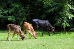 A vitela come a grama imagem de stock
