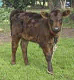 A vitela crocita Imagem de Stock