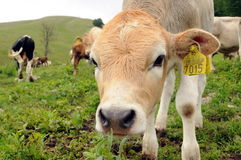 Vitela curiosa da vaca Fotografia de Stock Royalty Free