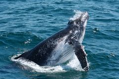 Vitela da baleia de Humpback fotografia de stock royalty free