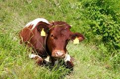 Vitela da vaca foto de stock royalty free