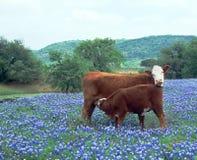 Vitela da vaca em capotas do azul do campo Imagens de Stock Royalty Free