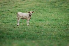 Vitela da vaca no campo Fotografia de Stock