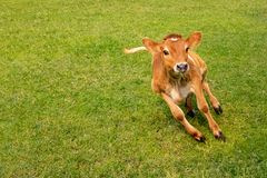 Vitela da vaca que salta e que junning na terra no dia ensolarado fotografia de stock