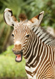 Vitela da zebra Fotografia de Stock Royalty Free