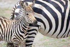 Vitela da zebra (burchellii do Equus) foto de stock