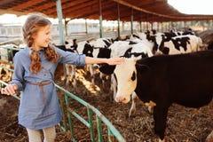 Vitela de alimentação da menina da criança na exploração agrícola da vaca Campo, vida rural foto de stock