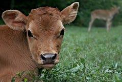 Vitela de Bull do jérsei Imagem de Stock Royalty Free