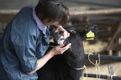 Vitela de exame do veterinário Fotografia de Stock Royalty Free
