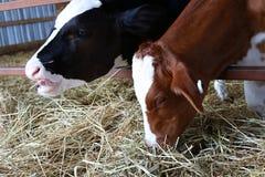 Vitela de Holstein que lambe os bordos quando a vitela ao lado comer o feno imagens de stock royalty free