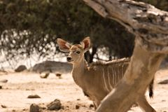 Vitela de Kudu Fotos de Stock Royalty Free