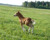 Vitela de um cavalo Imagem de Stock Royalty Free