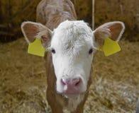 Vitela dentro de um celeiro de vaca imagem de stock royalty free