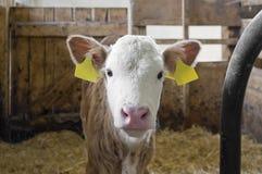 Vitela dentro de um celeiro de vaca fotografia de stock royalty free