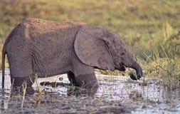 Vitela do África-Elefante Imagem de Stock Royalty Free