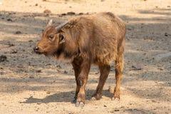 Vitela do búfalo do cabo que olha ao lado Imagem de Stock